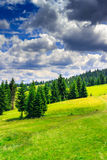Vertical clearing  in a  mountain forest after the storm. Clearing  in a coniferous forest in the mountains. the sky is filled with clouds after the storm Royalty Free Stock Photos