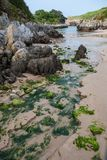 Vertical close-up of beach with algae. Karstic rocks and vegetation in Berellin, Prellezo, Cantabria, Spain royalty free stock photo