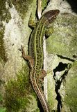 Green lizard on a stone close-up stock images