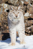 Vertical close-up of North American Lynx Stock Photography
