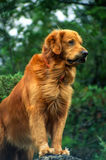 Vertical Close up Portrait of a Big Male Golden Retriever. Royalty Free Stock Photography