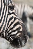 Vertical close up portrait of a black and white striped zebra he royalty free stock images