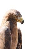 Vertical close-up profile portrait of golden eagle Stock Image