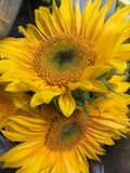 Two sunflowers Stock Images