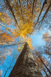 Vertical close view of a beech trunk and golden autumn foliage Royalty Free Stock Photography
