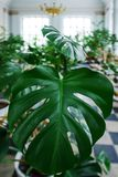 A vertical closeup image of the large leaf of a green plant in a botanical garden.  royalty free stock photography