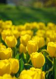 Yellow tulip garden closeup Royalty Free Stock Image