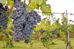 Free Vertical Closeup Shot Of Dark Grapes Growing On The Branches Of A Vine In Tenerife In Spain Stock Photography - 204908662