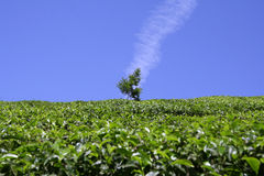 Vertical cloud above tree in tea plantation Royalty Free Stock Photo