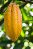 Vertical Cocoa Pod Stock Images