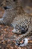 The curled, white tip of a leopard`s tail. A vertical, colour image of the white tip of a leopard`s tail, Panthera pardus, resting on the ground and twitching stock photos
