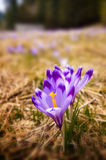 Vertical composition with crocus flowers on a spring meadow Stock Images