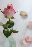 Pink rose over blur background. Vertical composition of pink rose over blur background royalty free stock photo