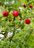 Vertical Composition Red Apples Growing Eastern Washington Fruit Royalty Free Stock Photography
