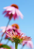Vertical coneflowers and sky. Beautiful floral background or wallpaper of bright pink coneflowers against blue sky Stock Photos