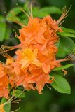 Vertical cose-up of Flame Azalea Flowers – Rhododendron calendulaceum Stock Photo