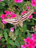 Vertical da traça de colibri Foto de Stock Royalty Free