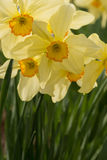 Vertical daffodils. Close-up of a cluster of 4 daffodils including their stems Stock Photo