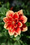Vertical Dahlia Pinnata Royalty Free Stock Photo
