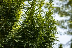 Free Vertical Dark Green Branches Of Yew Taxus Baccata Fastigiata Aurea In The Open Air. Royalty Free Stock Images - 126806129