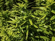 Free Vertical Dark Green With Yellow Stripes Branches Of Yew Taxus Baccata Fastigiata Aurea In The Open Air Stock Photography - 134576482