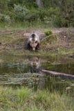 Vertical de la reflexión del oso del grisáceo Fotografía de archivo