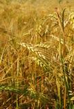Vertical del campo de la cebada Imagen de archivo libre de regalías
