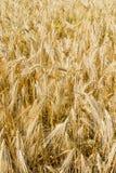 Vertical del campo de la cebada Foto de archivo