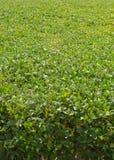 Vertical del campo de la soja Fotografía de archivo