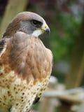 Vertical del halcón de Swainsons Fotografía de archivo libre de regalías