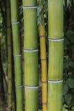 Vertical del primer del crecimiento de bambú Fotos de archivo libres de regalías