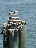 Vertical dos pares da gaivota foto de stock