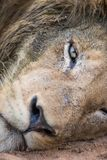 Close up of a lazy lion`s eye. A vertical, extreme close up colour image of a large and muddy male lion, Panthera leo, resting on his side and staring directly Royalty Free Stock Photos