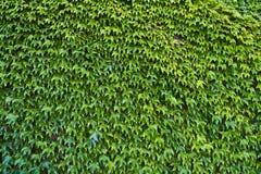 vertical för murgröna för spiral för bakgrundssammansättningshedera Royaltyfri Fotografi