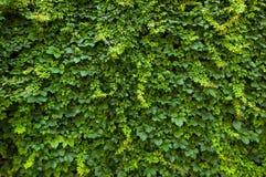 vertical för murgröna för spiral för bakgrundssammansättningshedera Fotografering för Bildbyråer