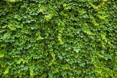 vertical för murgröna för spiral för bakgrundssammansättningshedera Arkivfoton