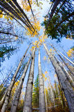 Vertical fall trees. Fall Birch trees looking up Stock Photo