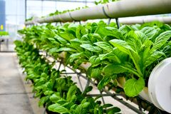 Organic vertical farming pipe lines. Vertical farming is cultivating plant within a skyscraper greenhouse or on vertically inclined surfaces Stock Photography