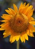 Vertical feliz amarelo brilhante gigante da flor do girassol isolado Fotos de Stock Royalty Free