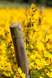 Vertical Fence Post in Field Yellow Wildflowers Royalty Free Stock Photo