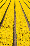 Vertical field of tulips Stock Photography