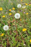 Dandeliions bunch with  some blooming in lawn. Vertical file of a photo of Dandelion flowers and blowers on a lawn with small purple flowers in the background Royalty Free Stock Images