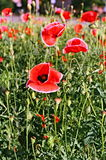 Vertical filmphoto with red poppies. Poppies closeup. Flowers captured on film. Vertical retro shoot Royalty Free Stock Photography