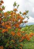 Vertical - flor alaranjada da azálea da chama nas montanhas de Grayson Highlands foto de stock royalty free