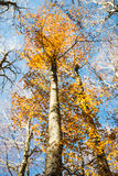 Vertical focused beech trunk and blurred colorful autumn treetop Royalty Free Stock Photo