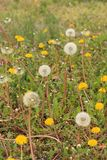 Some open grass at top of photo  Vertical Outdoor shot of Dandeliions with some blooming in lawn,. Vertical format  of a photo of Dandelion flowers and blowers Stock Photography