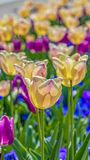 Vertical frame White and purple tulips with thin green stem and vivid leaves on a sunny day. Small blue flowers can also be seen blooming below the tulips stock image