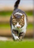 Vertical frontowy kot na grasującym Zdjęcia Royalty Free