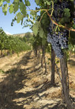Ripe Grape Cluster Fruit Food Vine Vineyard Stock Photography