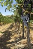 Ripe Grape Cluster Fruit Food Vine Vineyard Stock Photography